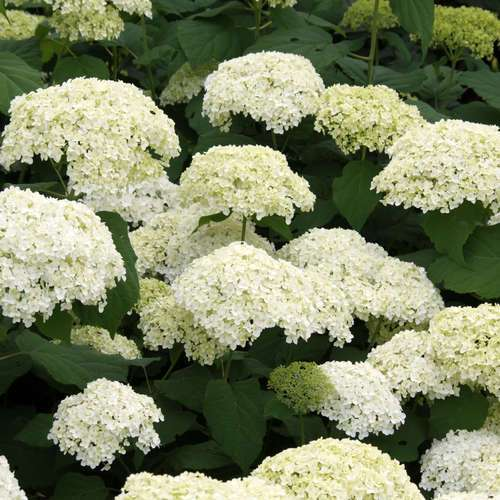 schneeballhortensie hydrangea arborescens 39 annabelle 39. Black Bedroom Furniture Sets. Home Design Ideas