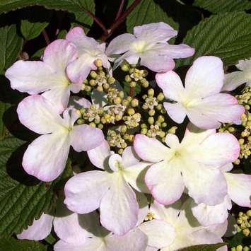 rosa etagenschneeball viburnum plicatum 39 pink beauty 39. Black Bedroom Furniture Sets. Home Design Ideas