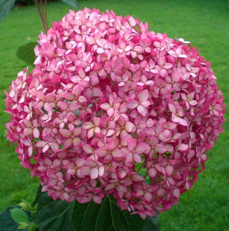 schneeballhortensie hydrangea arborescens 39 pink annabelle 39. Black Bedroom Furniture Sets. Home Design Ideas