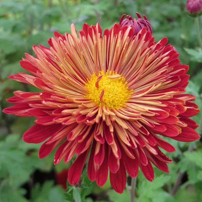 Herbstchrysantheme Chrysanthemum Indicum Brennpunkt