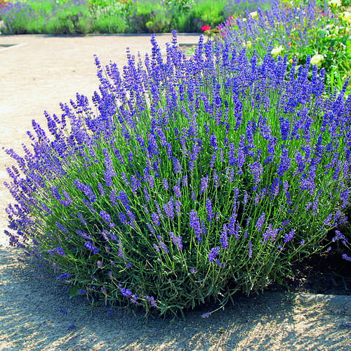 lavendel lavandula angustifolia 39 hidcote 39. Black Bedroom Furniture Sets. Home Design Ideas