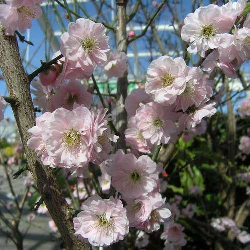 japanische aprikose prunus mume 39 peggy clarke 39. Black Bedroom Furniture Sets. Home Design Ideas