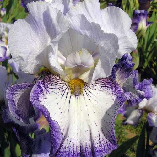 hohe schwertlilie iris iris germanica 39 spinning wheel 39. Black Bedroom Furniture Sets. Home Design Ideas