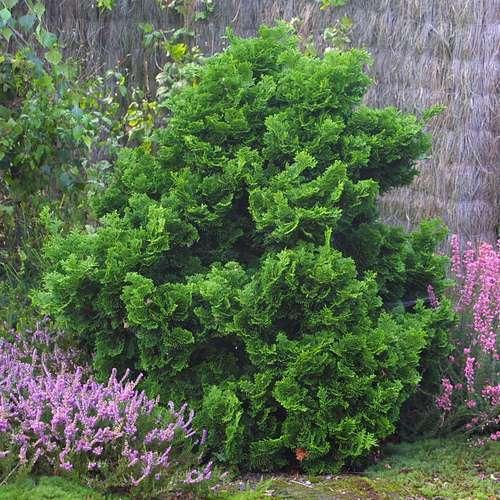 zwerg muschelzypresse chamaecyparis obtusa 39 nana gracilis 39. Black Bedroom Furniture Sets. Home Design Ideas