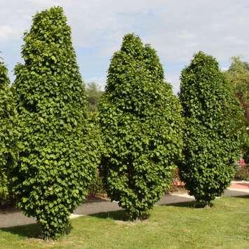 pyramiden hainbuche carpinus betulus 39 columnaris 39. Black Bedroom Furniture Sets. Home Design Ideas