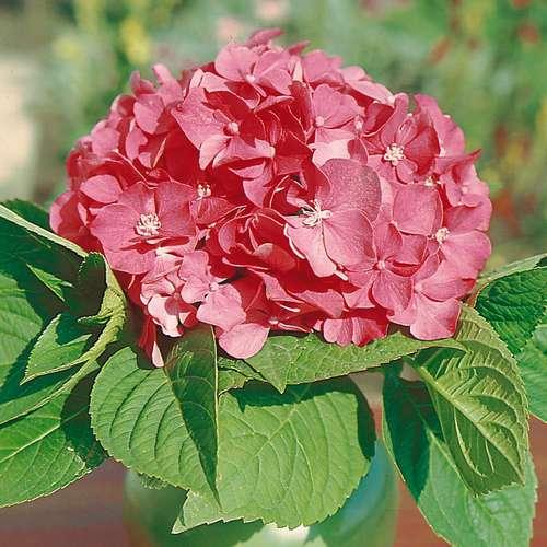 gartenhortensie hydrangea macrophylla 39 bouquet rose 39. Black Bedroom Furniture Sets. Home Design Ideas