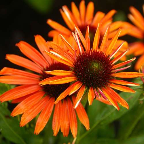 sonnenhut echinacea purpurea 39 orange skipper 39. Black Bedroom Furniture Sets. Home Design Ideas
