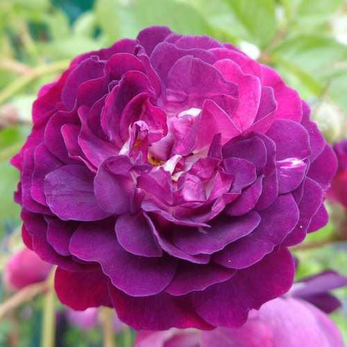 ramblerrose rose 39 bleu magenta 39. Black Bedroom Furniture Sets. Home Design Ideas