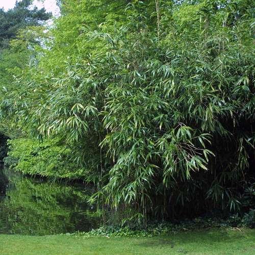 pfeilbambus pseudosasa japonica. Black Bedroom Furniture Sets. Home Design Ideas