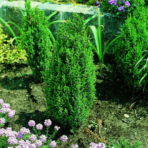 zwerg s ulenwacholder juniperus communis 39 compressa 39. Black Bedroom Furniture Sets. Home Design Ideas