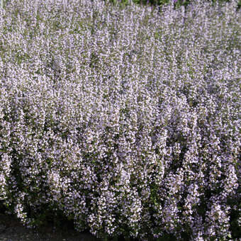 Bergminze, Steinquendel - Calamintha nepeta 'Blue Cloud'