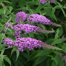 Sommerflieder - Buddleja davidii 'Empire Blue'