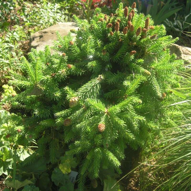 Zwergfichte Pusch Picea abies Pusch