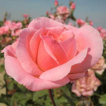 Moderne Edelrose - Rose 'The Queen Elizabeth Rose'
