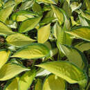 Funkie, Herzlilie - Hosta 'Orange Marmelade'