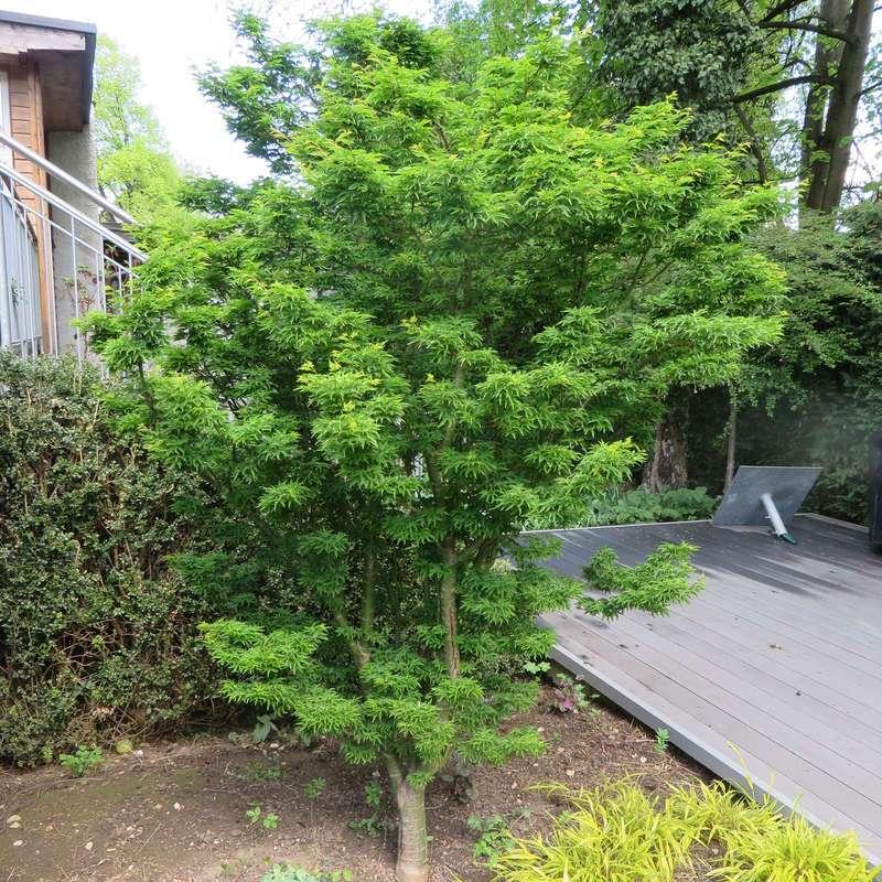 Acer palmatum Shishigashira japanischer Ahorn Shishigashira