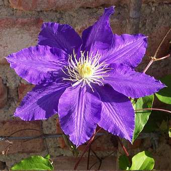 Waldrebe - Clematis 'The President'