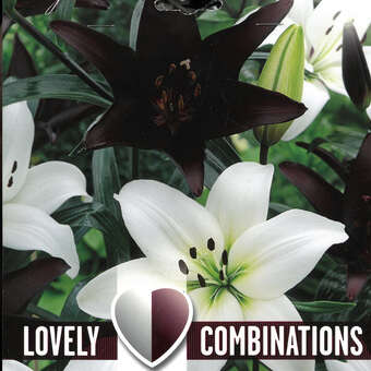 Lilien Lovely Combination Mischung - Lilium Asia.Hybride