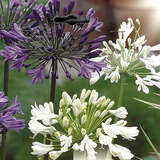 Schmucklilie - Agapanthus Blue and White