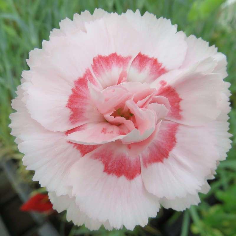 Dianthus plumarius Federnelke Doris