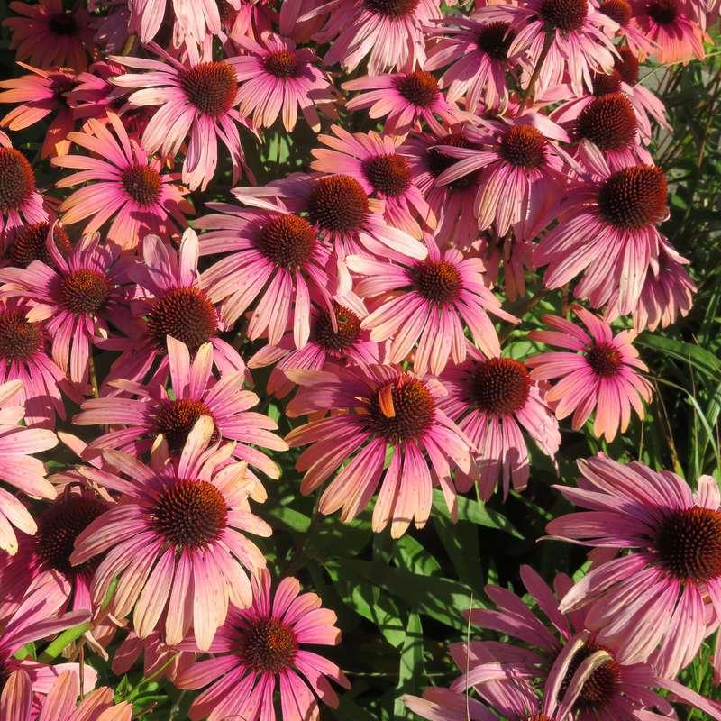 1x Staude Garten Pflanze Sonnenhut Echinacea Rainbow Marcella