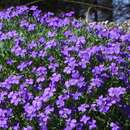 Blaukissen - Aubrieta 'Royal Blue'