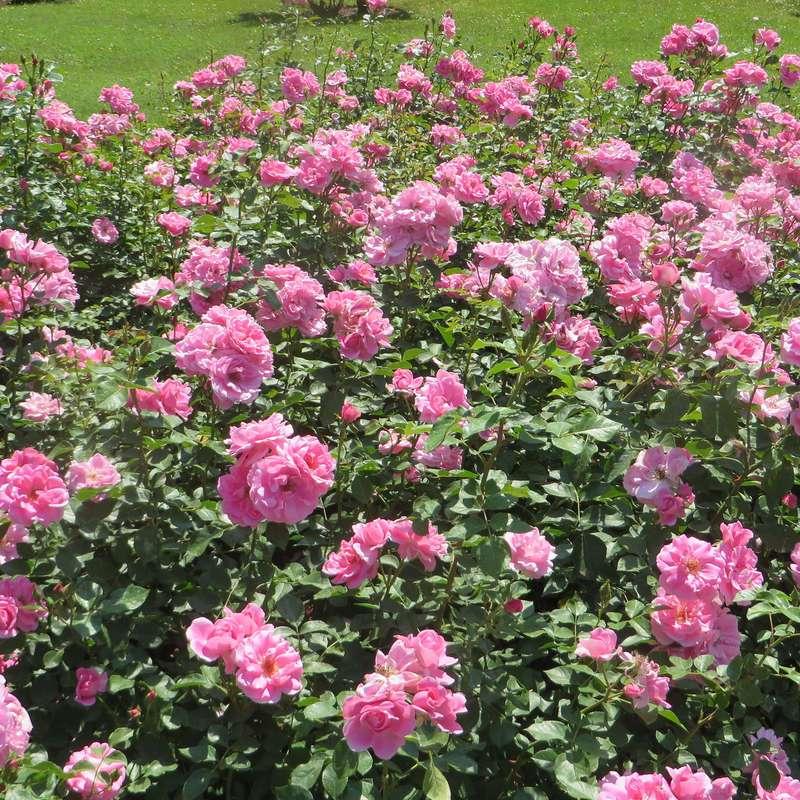 Rose Play
