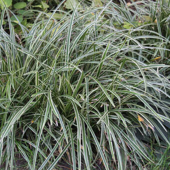 Japansegge - Carex morrowii 'Ice Dance'