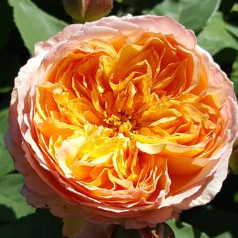 Englische Strauchrose - Rose 'Well Being'
