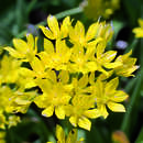Goldlauch - Allium moly