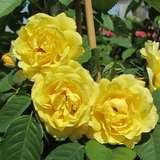 Moderne Kletterrose - Rose 'Golden Gate'