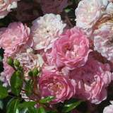Bodendeckerrose - Rose 'The Fairy'