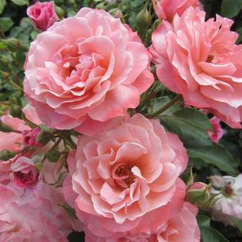 Bodendeckerrose - Rose 'Botticelli'