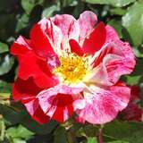 Moderne Kletterrose - Rose 'Crazy For You'