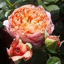 Edelrose - Rose 'Eisvogel'