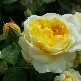 Englische Rose - Rose 'The Poet's Wife'