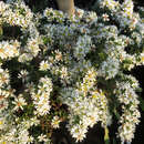 Aster - Aster ericoides 'Snowflurry'