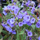 Lungenkraut - Pulmonaria 'Blue Ensign'