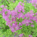 Wiesenraute - Thalictrum 'Black Stockings'