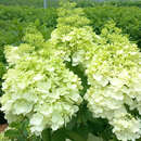 Rispenhortensie - Hydrangea paniculata 'Magical Moonlight'