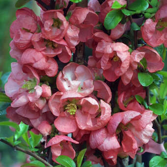 Zierquitte - Chaenomeles 'Pink Trail'