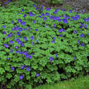 Storchschnabel - Geranium 'Johnson's Blue'
