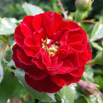 Bodendeckerrose, rot - Rose 'Rote The Fairy'