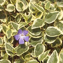 Buntlaubiges Immergrün - Vinca major 'Variegata'