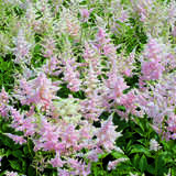 Prachtspiere - Astilbe japonica 'Europa'