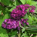 Sommerflieder - Buddleja davidii 'Royal Red'