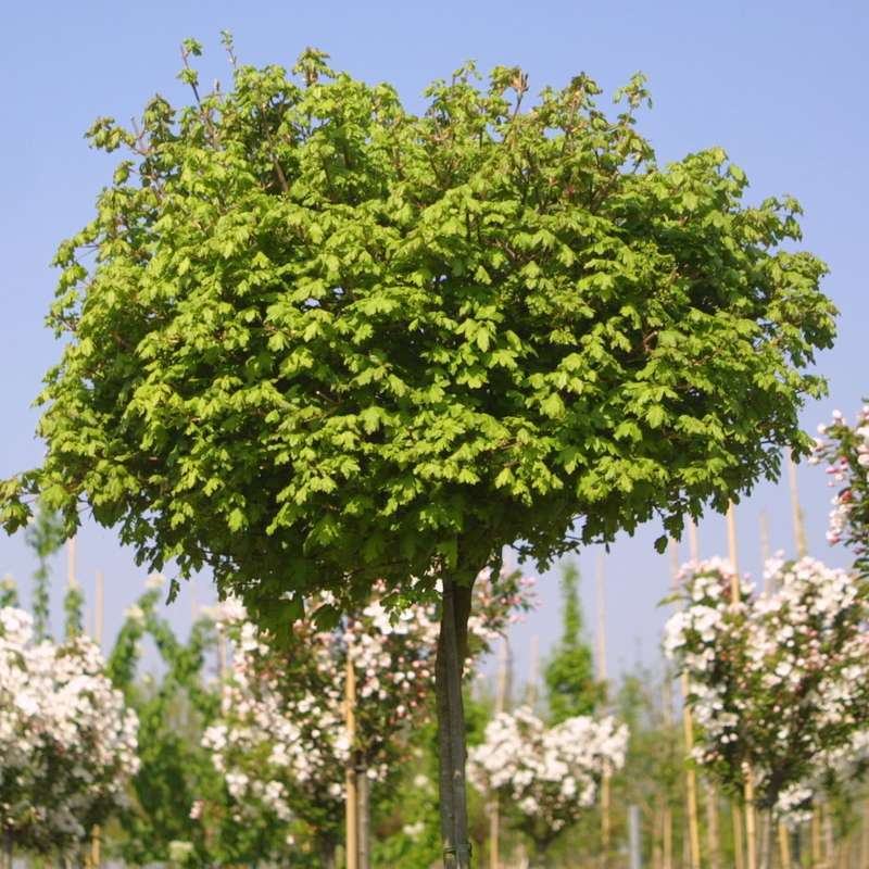 Hochstamm Kugel Feldahorn Nanum 125-150cm Acer campestre