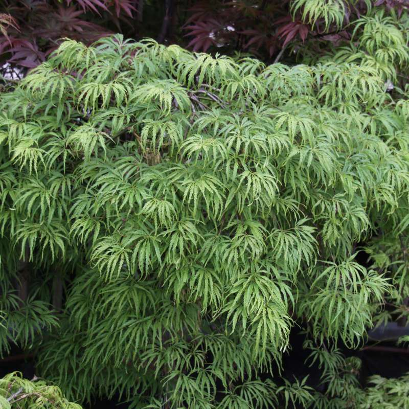 Geschlitzter Fächerahorn - Acer palmatum 'Palmatifidum'
