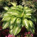 Funkie, Herzlilie - Hosta 'Night before Christmas'