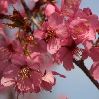 Zierkirsche - Prunus 'Collingwood Ingram'